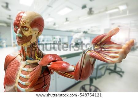 Anatomy model on laboratory background
