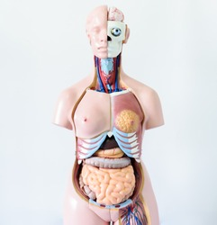 Anatomy model on white background.Part of human body model with organ system.Medical education concept.