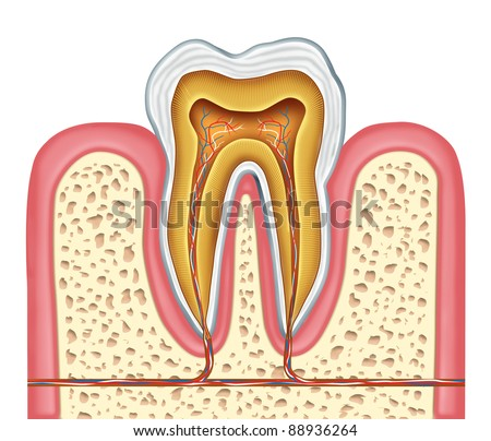 Anatomy of a healthy human tooth diagram as a dentist surgeon symbol for dental clinic and oral specialist for dentistry medicine and mouth surgery with a front cross section of a molar. - stock photo