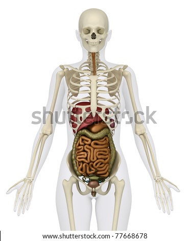 Anatomy of abdomen - stock photo