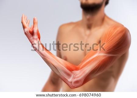 Anatomy of human arm. Human arm musculature.