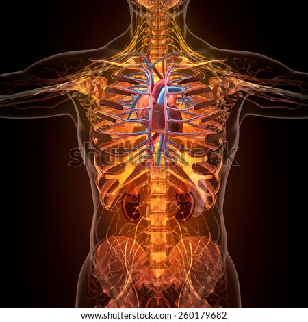 Anatomy Of Human Organs In X Ray View High Resolution Ez Canvas