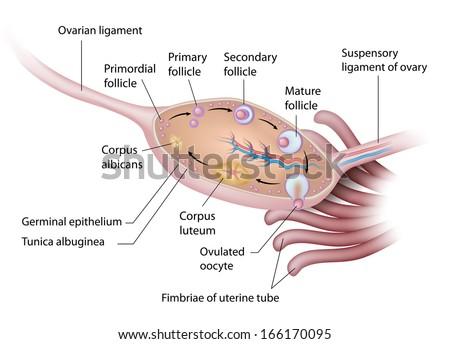 Anatomy of human ovary labeled