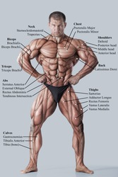 Anatomy of male muscular system - anterior view - full body