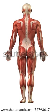 Anatomy of male  muscular system posterior view full body