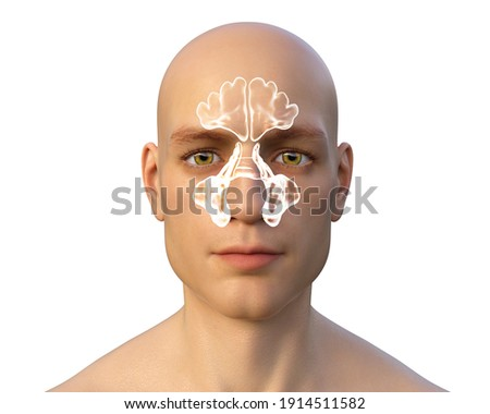 Anatomy of paranasal sinuses. 3D illustration showing male with highlighted paranasal sinuses, frontal, maxillary, ethmoid, and sphenoid Stockfoto ©