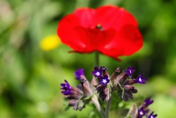 Anchusa officinalis plant. Red anemone in blurred background. Anchusa or Common Bugloss, Alkanet is a plant species rated in the top 10 for most nectar production nectar production. Wild nature. Macro