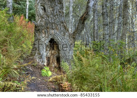 Ancient birch tree on a trail in a forest in Alaska in fall.