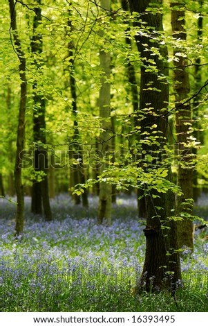 Ancient bluebell beech forest in spring