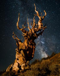 Ancient Bristlecone Pine tree at night under milky way
