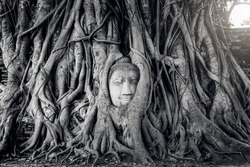Ancient Buddha head in tree roots,A black and white photo.