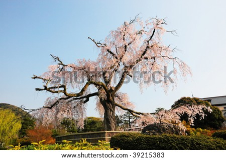ancient cherry blossom tree at Kyoto, Japan
