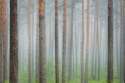 Ancient evergreen pine trees in a morning fog. Latvia. Atmospheric landscape. Eco tourism, environment, loneliness, darkness, northern woodland