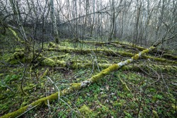 Ancient forest full of fallen dead trees covered with lush green moss. Beautiful woodland landscape view at sunset.