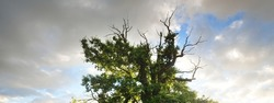 Ancient half dead, half living mighty oak tree, dramatic sunset clouds. Sorcery, spiritual place. Concept art and graphics, Yggdrasil, legends, folklore, fairy tale, environmental conservation