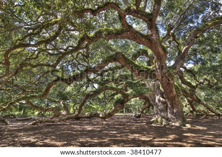ancient live oak tree in south carolina, hdr image