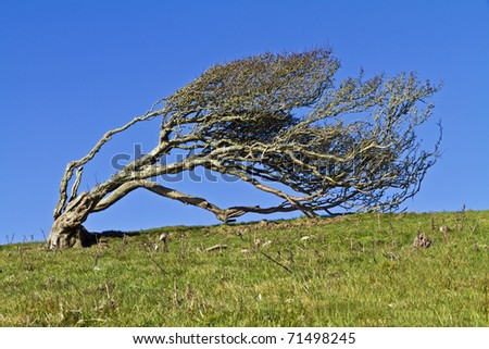 Ancient lone hawthorn tree (Crataegus monogyna),sculpted by the wind, so it is now bent over at ninety degrees