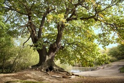 Ancient Mighty Oak Tree with Exposed Tangled Roots Next to Pond - Epping Forest Background, Loughton , London
