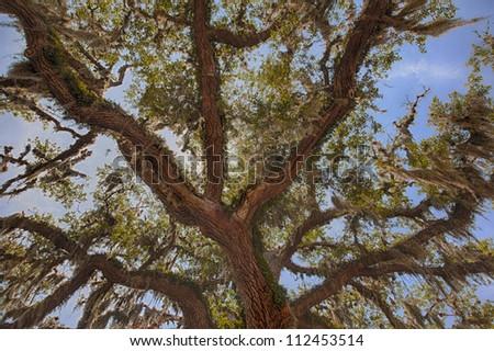Ancient oak tree.  Florida, USA.