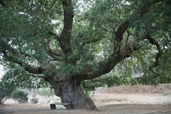 Ancient oak tree in Troodos in Cyprus. Under the oak tree a wooden bench.  Cyprus Nature Reserve.