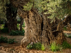 Ancient Olive Tree at the Garden of Gesthemane, Church of All Nations, Jerusalem