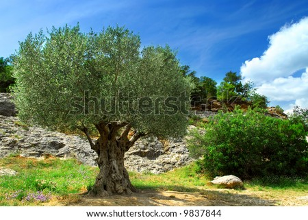 Ancient olive tree growing in southern France
