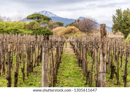 Ancient Roman Vineyard in the Ruins of Pompeii Italy