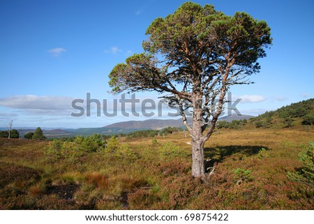 Ancient Scots Pine tree above Rothiemurchus in the Cairngorms of Scotland.