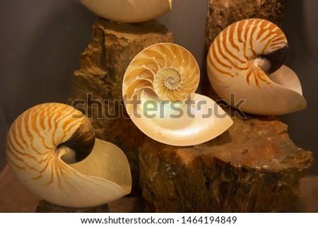 ancient shell show at aquarium with fibonacci structure