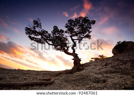 ancient tree on the rocks at sunset