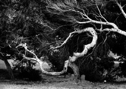 Ancient trees branch. Black and white photo