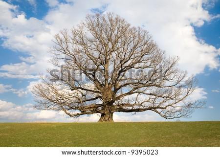 Ancient, White Oak tree, Qereus Alba, located in Virginia USA