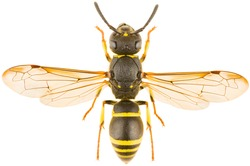 Ancistrocerus nigricornis is a species of potter wasp. Dorsal view of close up mason wasp isolated on white background.