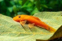 ancistrus dolichopterus red gold pleco