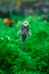 Ancistrus gray carapace in the aquarium.