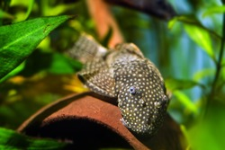 Ancistrus sp., bushynose catfish in Loricariidae family, funny, peaceful and healthy freshwater algae eater species, adult female feeds on algae growing on surface of coconut, nature planted tank