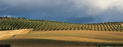 Andalusian agricultural landscape at dawn with large expanses of olive trees