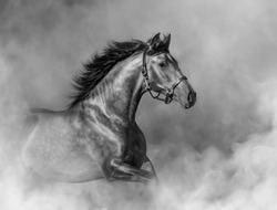 Andalusian horse in halter in light smoke in motion. Black and white photo.