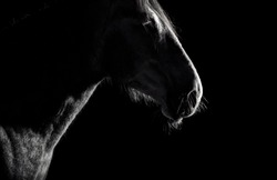 Andalusian horse silhouette in the low light on black background. Animal portrait with space for text.