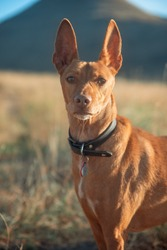 Andalusian hound dog in the camp
