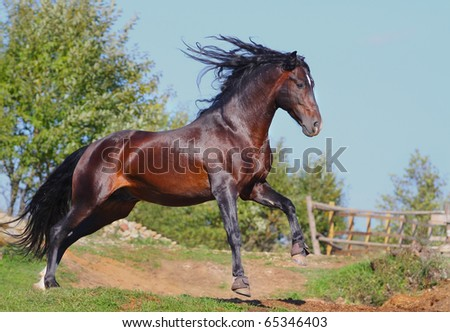 andalusian stallion in gallop