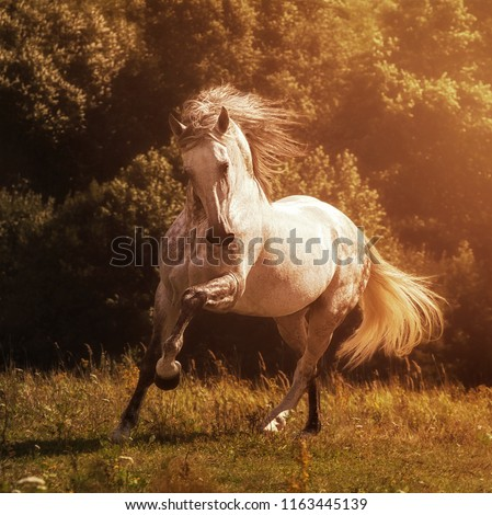 Andalusian stallion PRE