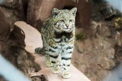 Andean cat at Cochahuasi Animal Sanctuary