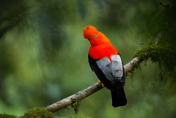 Andean cock-of-the-rock in the beautiful nature habitat, Peru, wildlife pictures, symbol of Peru