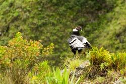andean condor andean condor shot in ecuadorian rise at about 1800m altitud andean condor fauna wing prey animal raptor bird tree nature outdoor grass ecuador outdoors landscape flight spring wild summ