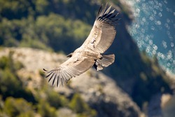 Andean Condor Flying over the Andes Mountain Rage. South America, Patagonia, Argentina.