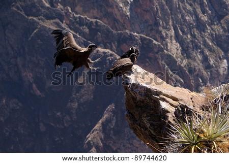 andean condor landing in Colca Canyon, Peru