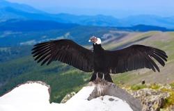 Andean condor (Vultur gryphus)  in wildness area
