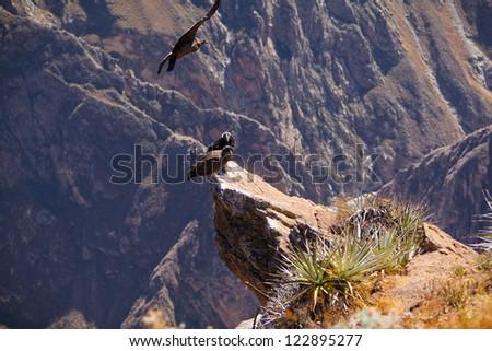 Andean Condors in Colca Canyon, Peru