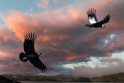Andean Condors (Vultur gryphus) flying over Torres del Paine National Park, Chilean Patagonia, Chile